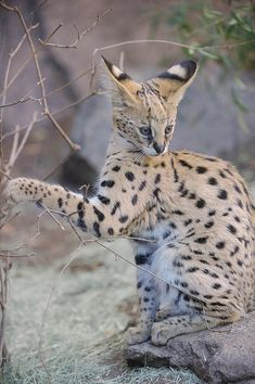 Baby Serval by LisaDiazPhotos