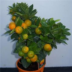 Citrus Orange 'Calamondin' Bush