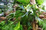 How to Propagate a Staghorn Fern | eHow