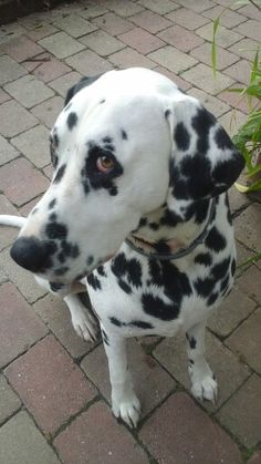 Apollo - Dalmatian face