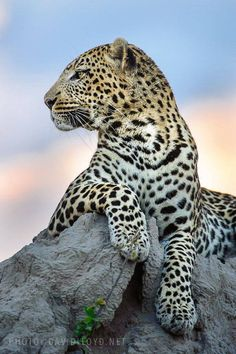Gorgeous leopard posing on a termite mound, Masai Mara, Kenya ~ by David Lloyd Wildlife Photography