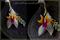 Lepanthes uxoria