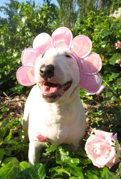Roxy the Bull Terrier says hello to spring