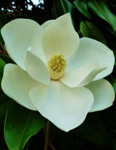 Southern Magnolia Tree Facts in Deep South Landscapes