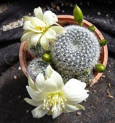 Mini Cactus Garden, Cactus Flower, Flower Seeds, Flower Pots, Flower Bookey, Cactus Cactus, Small Cactus Plants, Exotic Plants, Cacti And Succulents