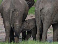 Botswana Chobe National park Baby elephant www.freespiritholiday.co.uk Chobe National Park, National Parks, Baby Elephant, Elephants, South Africa, Animals, Animales, Elephant Baby, Baby Elephants