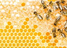 Even as larvae, honey bees are tuned in to the social culture of the hive, becoming more or less aggressive depending on who raises them, researchers report in the journal Scientific Reports.