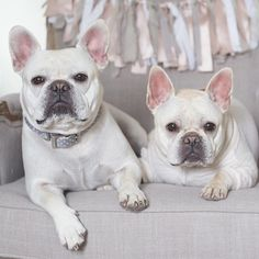 Enzo and Lina, French Bulldogs @enzoandlina on instagram.