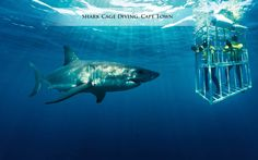 A great white-knuckle ride!   Get ready to see #Sharks like never before – from up close, only in #South Africa! #CapeTown #CoxandKings