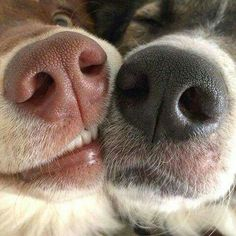 Boop Boop : : Border Collie & Australian Shepherd : www.leashyourse Best Picture For Pet photography editing For Your Animals And Pets, Baby Animals, Funny Animals, Cute Animals, Love My Dog, Puppy Love, Cute Puppies, Cute Dogs, Dogs And Puppies