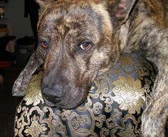 dutch shepherd pitbull mix
