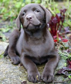 Betsy the Labrador Retriever What a sweet, wistful girl. Lab Puppies, Cute Puppies, Cute Dogs, Animals And Pets, Baby Animals, Cute Animals, I Love Dogs, Puppy Love, Mans Best Friend
