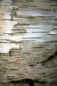 How to Glue Birch Bark to Plywood Tree Bark Crafts, Birch Bark Crafts, Wood Crafts, Birch Bark Decor, Wood Bark, Birch Trees, Plain Wooden Boxes, Primitive Technology, Painted Boxes