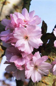 Flor de cerezo Prunus 'Matsumae-beni-tamanishiki' Fotografia de John Glover, uno de los primeros y de los mas importantes fotografos de jardin del Reino Unido