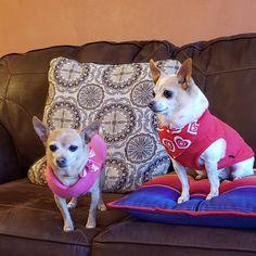 Peter Piper, Boston Terrier, French Bulldog, Dogs, Animals, Boston Terriers, Animales, Animaux, French Bulldog Shedding
