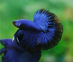 Black blue dragon