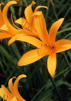 "ORANGEMAN, 1902        Rarest We can't understand why everyone isn't growing this great little daylily. It blooms remarkably early — with the first bearded iris of May — and profusely, even in the half-shade of our old grape arbor. Its graceful, star-like flowers are a cheery yellow-orange that's somewhere between mangoes and California poppies. And it's one of the oldest survivors from the very dawn of daylily breeding, by school teacher George Yeld. 24-30"", dormant, zones 4a-8b"