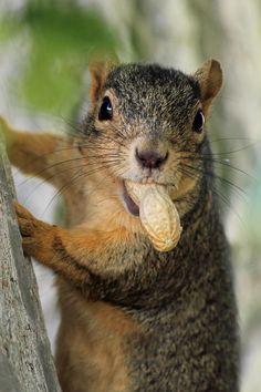 """""""Got a Light"""" [A tree squirrel with a peanut in *Idaho Falls, Idaho]~[Photographer Ann Van Breeman - May 6 2012]'h4d'120910"""