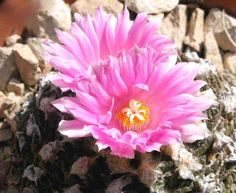 Красивые цветущие кактусы