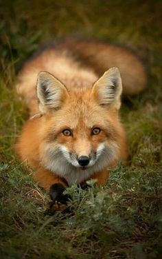 e 🍃 renard fuch zorro forest / red fox by Brittany Crossman - National Geographic Your Shot Nature Animals, Animals And Pets, Funny Animals, Cute Animals, Wild Animals, Baby Animals, Autumn Animals, Beautiful Creatures, Animals Beautiful