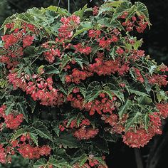 Begonia 'Tiny Gem' (a fibrous hybrid) -Everblooming, candy-pink flowers cascade like showers over the perfect small leaves of this mini variety.