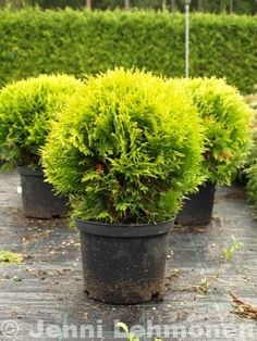 Siirry tuotteeseen Thuja Occidentalis, Plants, Plant, Planets
