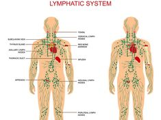 Your lymph system is a complex and little-thought-of drainage system in the body. This system is mostly ignored, of course, until someone gets cancer. The entire system contains vital organs including the spleen, the thymus, lymph nodes, and blood vessels. Your lymph system plays an extremely important role when it comes to fighting infection, and …