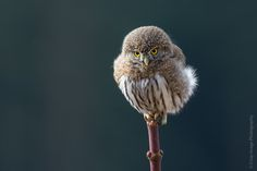 La Chevêchette naine ! Photo de Kevin Lippe #chouette #faune #oiseau #sauvage #roidesoiseaux #nature  ___________________________________  The Northern Pygmy Owl ! Photo by Kevin Lippe. These owls are ferocious little hunters, it's not uncommon to see them with prey considerably larger and heavier than they are. This little puff ball had something in his sights.  #owl #wildlife #bird #wild #bestnatureshot #kingsbirds #nature