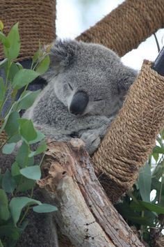 andy the rapist. Cute Funny Animals, Cute Baby Animals, Animals And Pets, Cute Animal Photos, Animal Pictures, Baby Koala, Baby Otters, The Wombats, Australian Animals