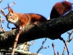 L'écureuil, casse-graines et véritable voltigeur !