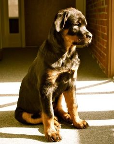 10 Interesting Facts About Rottweilers.Click the picture to read