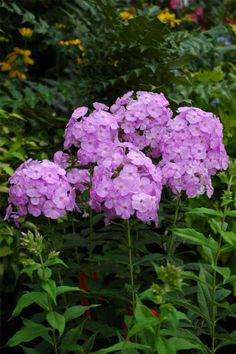 Phlox paniculata: native to US, zones 4-8, perennial, 3-4 feet high,blooms July-Spetember, fragrant, prefers full sun