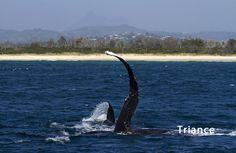 Humpback Mother and Calf playing, off the Tweed Coast NSW.