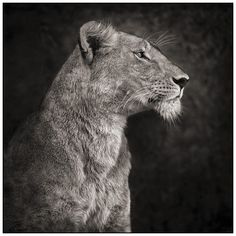 Lioness Against Rock by Nick Brandt