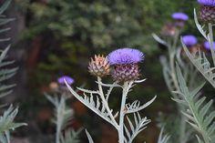 Free Image on Pixabay - Flower, Bloom, Nature, Flora Free Pictures, Free Images, Flora Garden, Thistles, Dandelion, Bloom, Landscape, Flowers, Nature