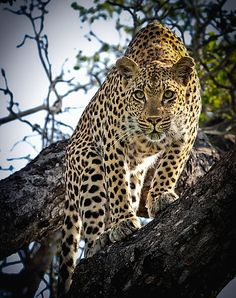 Leopard in Botswana Lion Pictures, Animal Pictures, Animals Beautiful, Cute Animals, Wild Animals, Big Cats, Cats And Kittens, Jaguar Leopard, Cheetahs