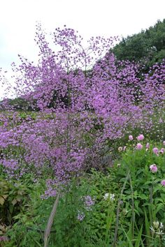 Thalictrum 'Delavayi' 96 of 100 must have garden plants, 'chosen by people like Dan Pearson, Piet Oudolf, Fergus Garrett and others. Purple Garden, Shade Garden, Garden Plants, Horticulture, Back Gardens, Outdoor Gardens, Beautiful Gardens, Beautiful Flowers, Tower Garden