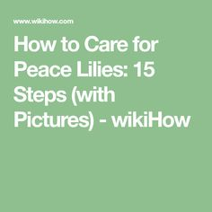 How to Care for Peace Lilies: 15 Steps (with Pictures) - wikiHow Lily Care, Peace Lily Plant, Sharon Smith, Prays The Lord, Plant Table, Balcony Plants, Inside Plants, I Need To Know, Little Plants
