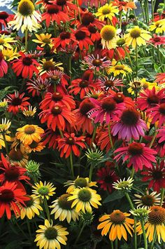 """Perennial (purpurea) GERM 10-21 days 2013 All American Selection winner. First year blooming, 24 weeks after sowing and first of its kind offered from seed. Intensely bright 3-4"""" flowers in a wide ran"""