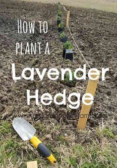 Container Gardening For Beginners How to plant a lavender hedge for a garden windbreak Culture D'herbes, Comment Planter, Organic Gardening Tips, Vegetable Gardening, Gardening For Beginners, Garden Planning, Party Planning, Lawn And Garden, Garden Oasis