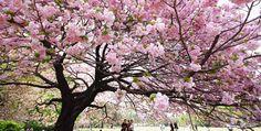 sakura in japan 2015 | Japan at Cherry Blossom Time