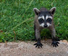 Baby raccoon                                                                                                                                                                                 More