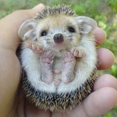 One of the cutest pics of a hedgehog I've ever seen :)