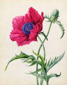 Poppy Flower Study by Pancrace Bessa – Flower Images, Flower Pictures, Flower Art, Vintage Botanical Prints, Botanical Drawings, Botanical Flowers, Botanical Art, Art Floral, Illustration Blume