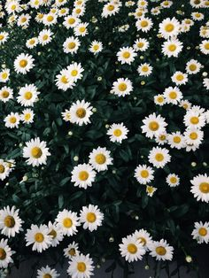 Field of daisies | VSCO | shecu