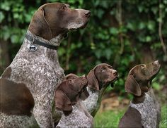 German Shorthaired Pointer  - oh look at those adorable babies!