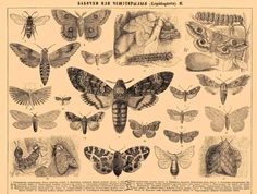 Lepidoptera- Plate 2 from 'Brockhaus and Efron Encyclopedic Dictionary.' Published in Russia,1890-1907.