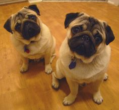 Here's just the most amazing picture I took of Gizmo & Gadget in my kitchen when I lived at the Saulet. Perfect pose for two pugs. For more on two pugs in the city, check out their blog at www.urbanpug.com     Awesome  Fantastico  cool