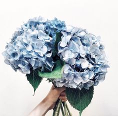 Here you will find inspiring images of Hydrangea, ranging from beautiful bouquets, to inspiring pot plant combinations for indoors or … My Flower, Beautiful Flowers, Beautiful Bouquets, Hortensia Hydrangea, Hydrangeas, Blue Hydrangea Bouquet, Bouquet Flowers, Bloom, No Rain