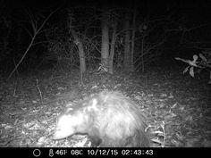 12/10/2015: opossum found the cat food at the wildlife camera location. #wildlifecam